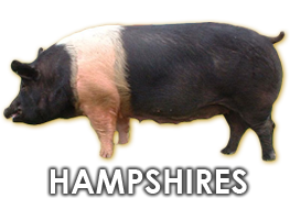 Hampshire Hog
